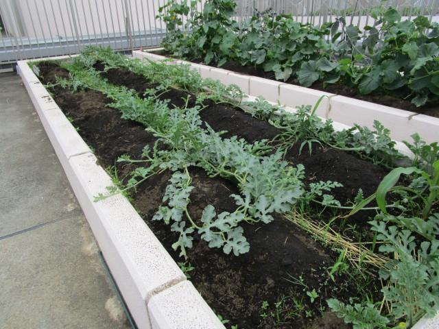 屋上菜園報告3