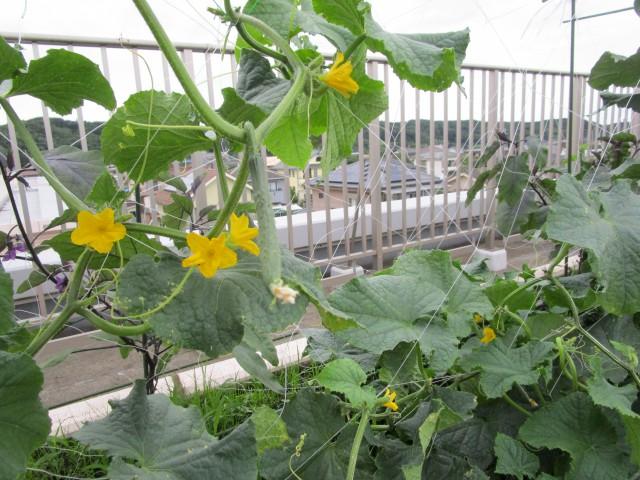 屋上菜園報告4